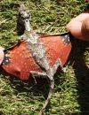 S-a descoperit un dragon mic în Indonezia