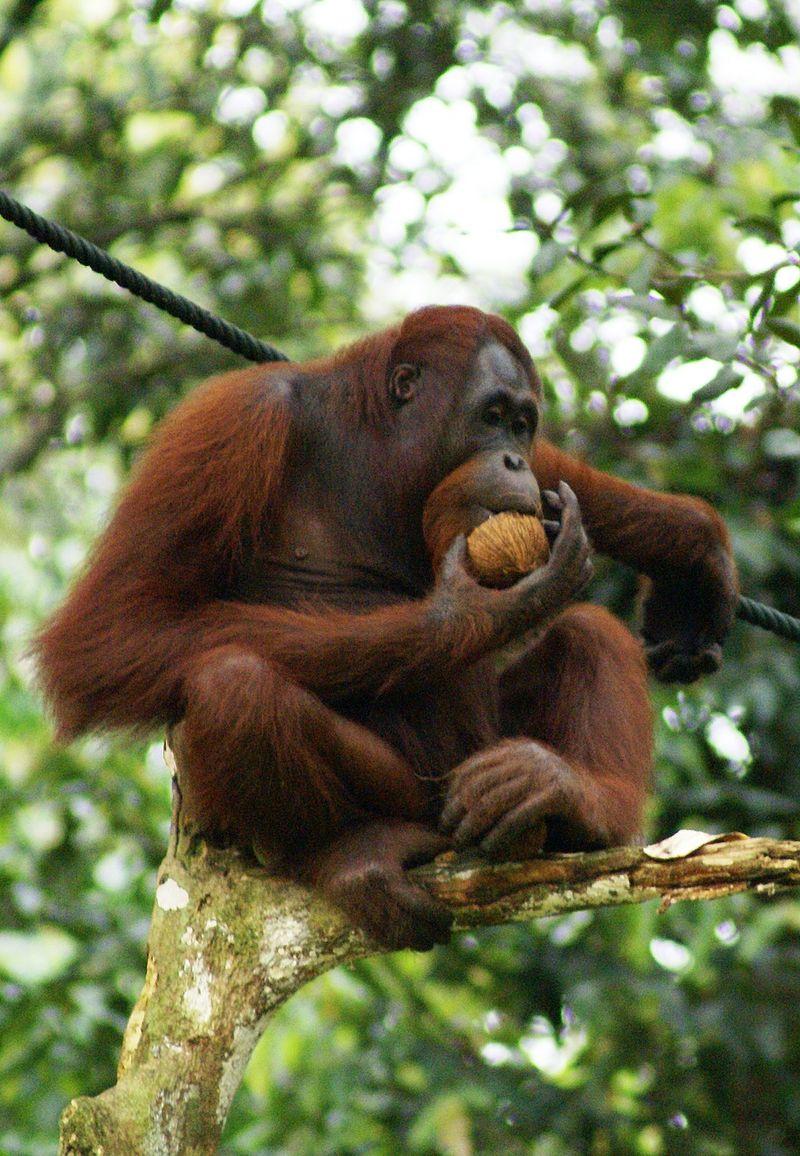 Urangutan din Borneo. Autor Eleifert, sursă Wikipedia.
