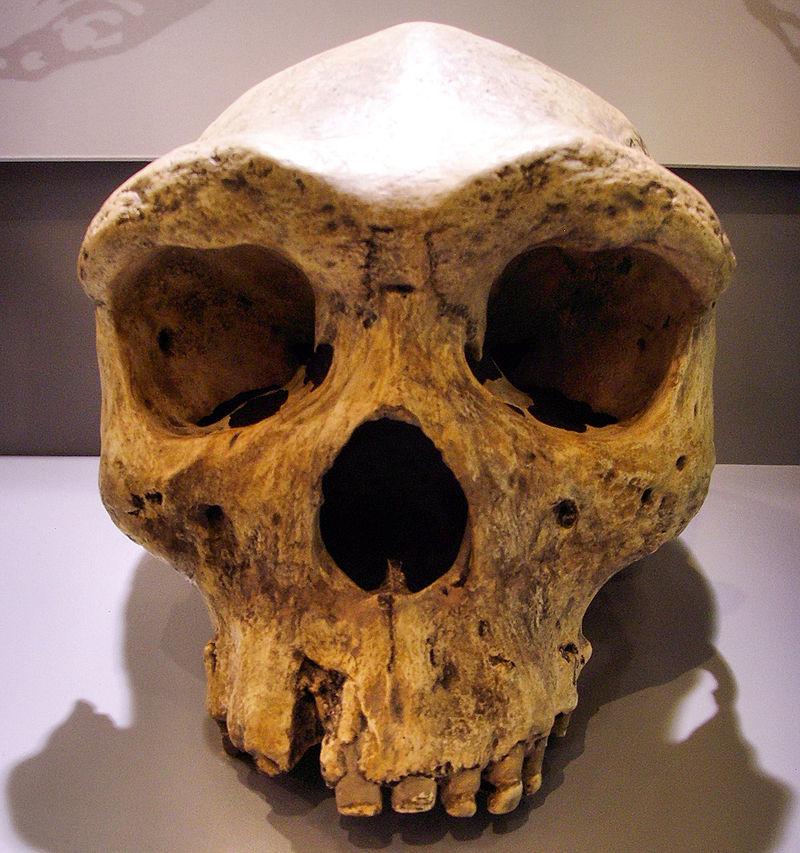 Craniu de Homo rhodesiensis datat a fi trăit între 300.000 și 125.000 ani în urmă. Foto de Gerbil, sursă Wikipedia.