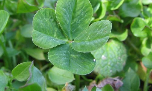 800px-Four-leaf_clover